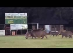 Enlace a Hipopótamos invaden un campo de rugby en Sud África
