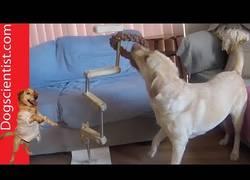 Enlace a Labrador resuelve un puzzle vertical para obtener su juguete