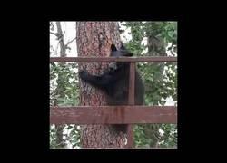 Enlace a ¿Alguna vez habías visto a un oso saltar TANTO?