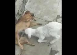 Enlace a Un corderito huérfano busca alimentarse de una perra lactante
