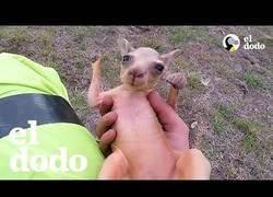 Enlace a Motociclista rescata canguro bebé