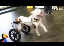 Enlace a Un perro paralizado reacciona a su nueva silla de ruedas