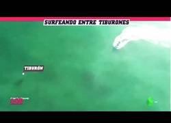Enlace a Surfean sin saberlo sobre tiburones blancos... ¡y se cae al agua!