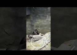 Enlace a Estúpido y sensual gorila