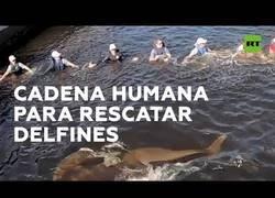 Enlace a Crean una barrera humana para redirigir a uno delfines desorientados