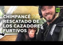 Enlace a Salvan a un pequeño chimpancé de la caza furtiva