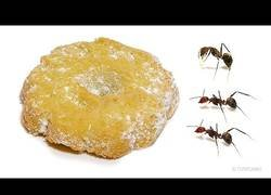 Enlace a ¿Cuánto tardan las hormigas en comerse una galleta navideña entera?