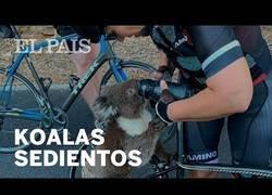 Enlace a Unos ciclistas australianos dan de beber a un koala deshidratado