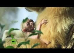 Enlace a Nace un gibón de manos blancas, una especie en peligro de extinción