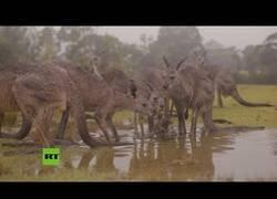 Enlace a Animales celebran la llegada de la lluvia en Australia