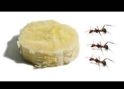 Enlace a ¿Cuánto tiempo tardan unas hormigas en comerse un trozo de plátano?