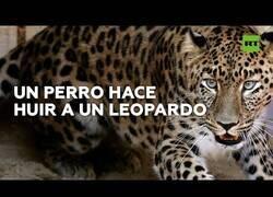 Enlace a Un leopardo se sube a un árbol huyendo de un perro