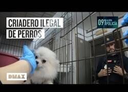 Enlace a La policía desmantela un criadero ilegal de perros