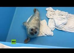 Enlace a Una cría de foca aprende a nadar
