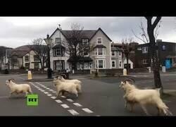 Enlace a Cabras montesas se pasean por las calles de Reino Unido
