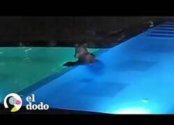 Enlace a Un oso se cuela en una piscina pública todas las noches