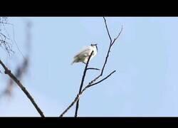 Enlace a Así suena el canto de pájaro más potente jamás registrado
