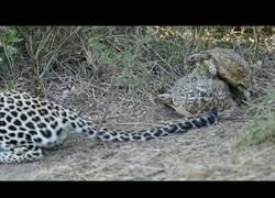 Enlace a Dos tortugas sin miedo hacen 'sus cosas' delante de un leopardo