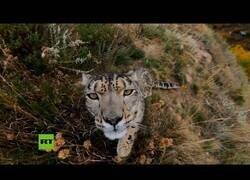 Enlace a Un leopardo intenta comerse una cámara oculta