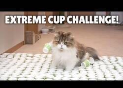 Enlace a Gatos cruzando un camino lleno de vasos