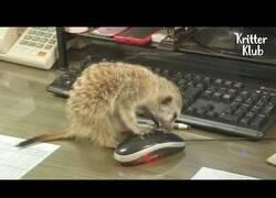 Enlace a ¿Qué pasa si sueltas 4 suricatas en una oficina?