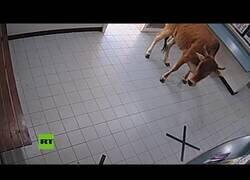 Enlace a Una vaca se cuela en una comisaría de policía