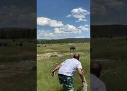 Enlace a Hacerse el muerto es la clave para evitar el ataque de un bisonte