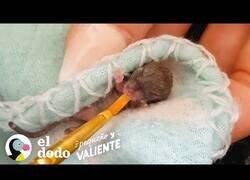 Enlace a Así es cuidar de dos ratones bebé