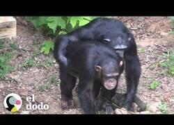 Enlace a Chimpancés de laboratorio conocen la naturaleza por primera vez