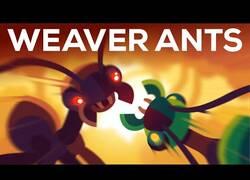 Enlace a Los reinos guerreros de la hormiga tejedora