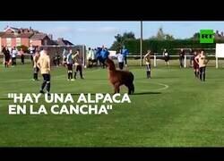 Enlace a Una alpaca irrumpe en mitad de un partido de fútbol