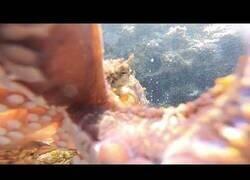 Enlace a El ataque de un pulpo visto desde una GoPro