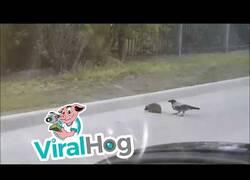 Enlace a Un cuervo ayuda a un erizo a cruzar la carretera