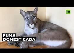 Enlace a Una familia rusa consigue domesticar un puma para que viva con ellos en casa