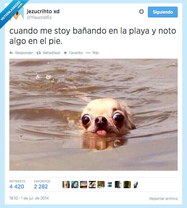 algo,bañando,cara,chihuahua,notar,noto,perro,pie,playa,tocar