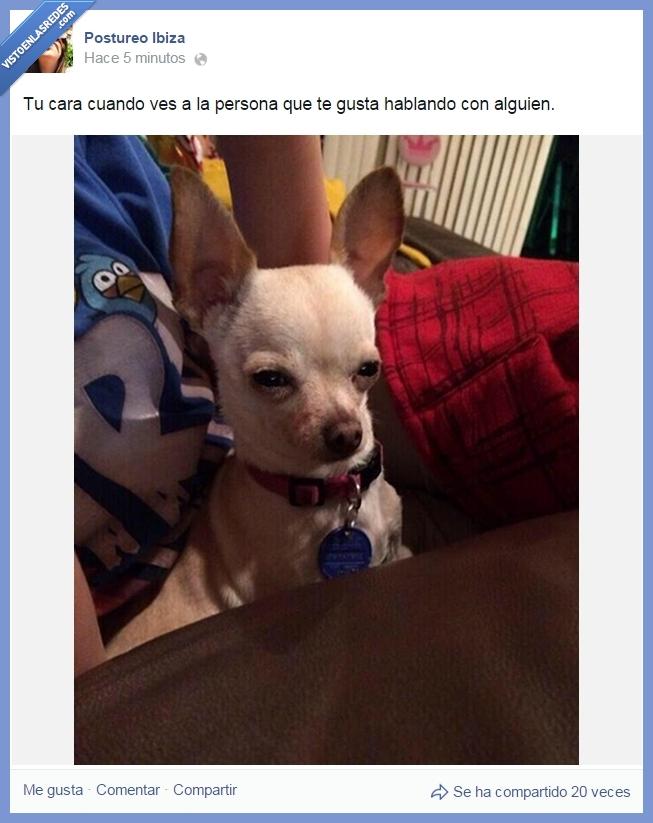 cara,chihuahua,enamorado,mascota,mirar,perro,persona,tu