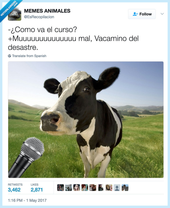 animales,chistaco,vaca