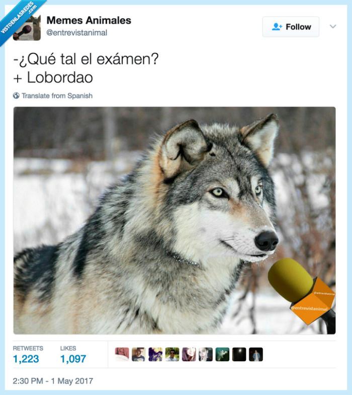 animales,chistaco,lobo