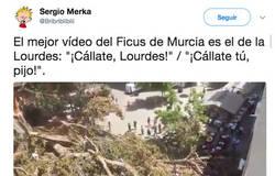 Enlace a Se cae el Ficus Milenario en Murcia y este matrimonio murciano lo graba con movidote incluido