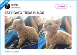 Enlace a El gato se ha hecho la permanente, por @hxmesick_
