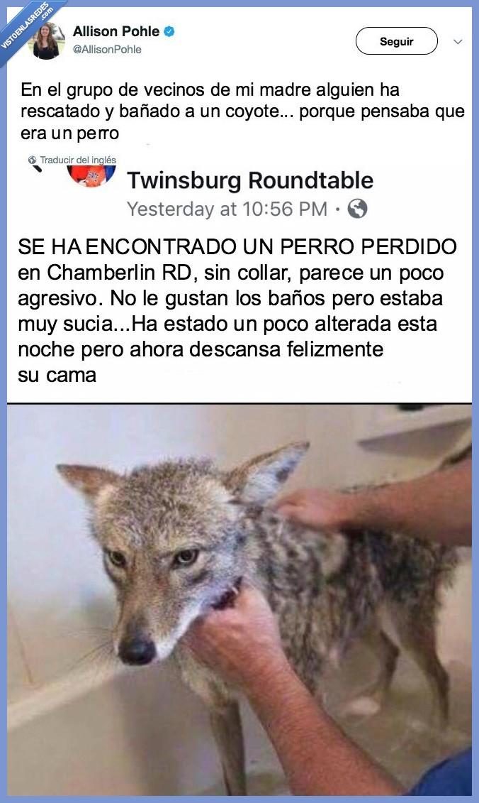 confundir,coyote,peligro