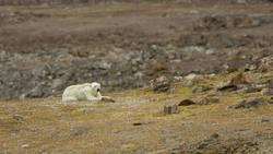 Enlace a Las duras imágenes de un oso polar moribundo que nos hace replantear como nos estamos cargando el planeta