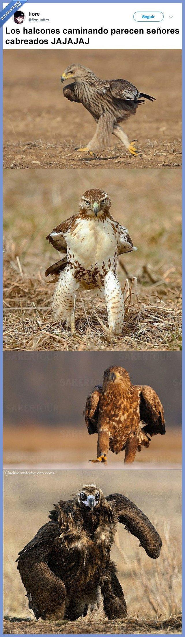 enfadados,halcones,pueden