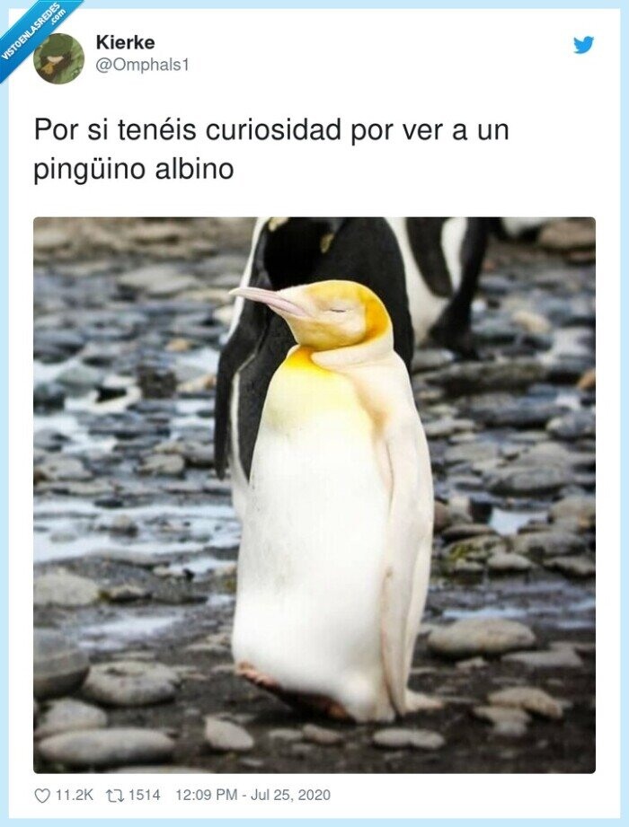 albino,amarillo,curiosidad,limón,pingüino
