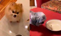 Enlace a La reacción de estos perros cuando les obligan a hacer dieta es lo mejor que verás hoy , por @Legolas11180