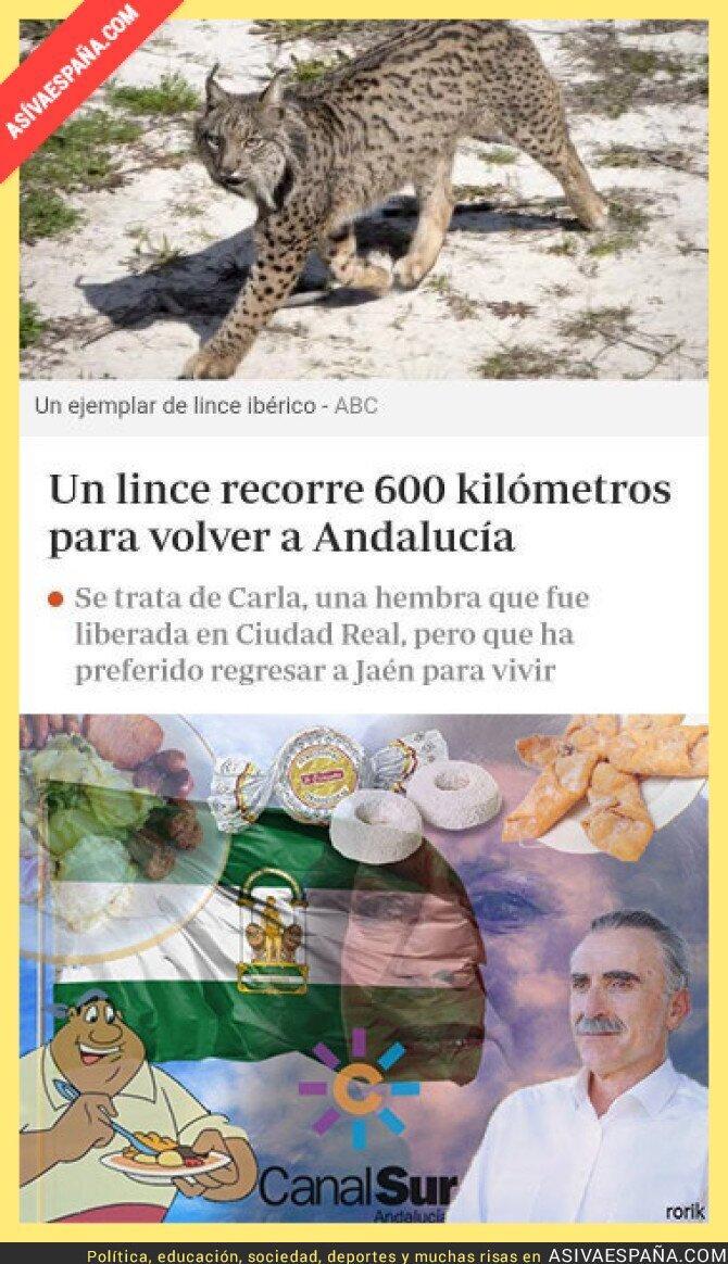 125055 - El lince es un auténtico orgullo andaluz