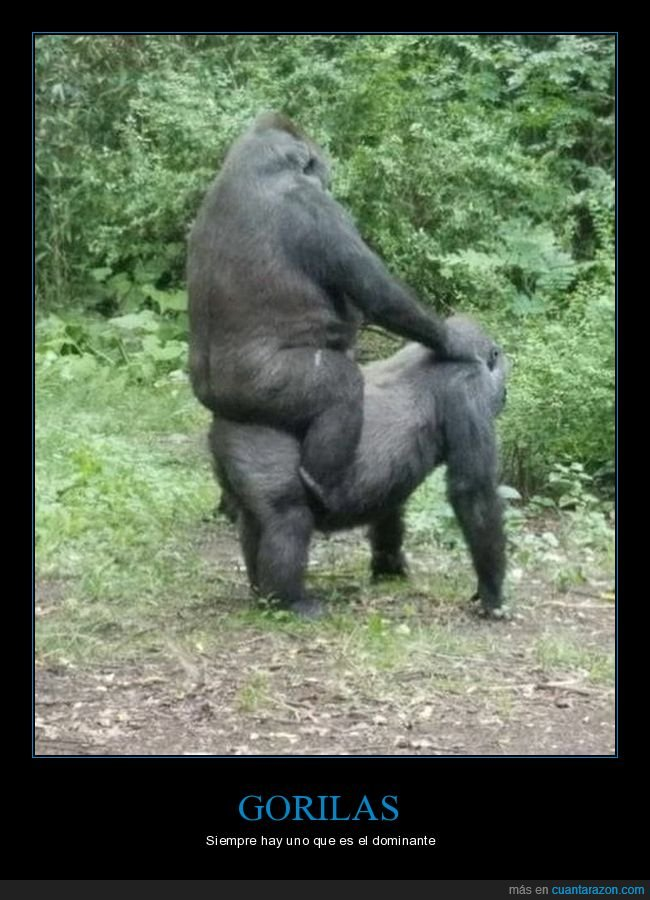 gorilas,wtf