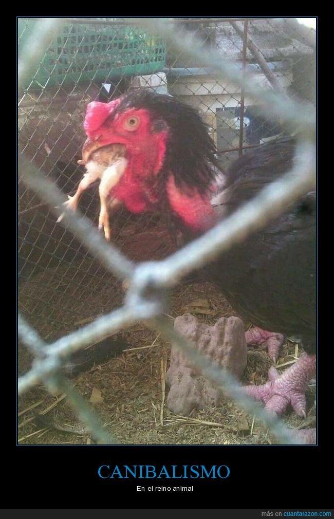 comiendo,gallina,pollo,wtf