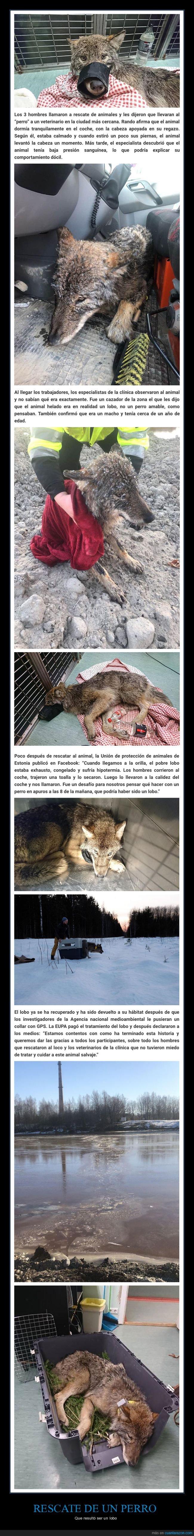lobo,perros,rescate
