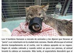 """Enlace a Tres trabajadores en Estonia rescataron a un """"perro"""" de un río helado y lo llevaron a un refugio sin saber que era un lobo"""